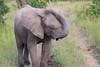 Elephant_Mara_North_Asilia_Kenya0011