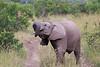 Elephant_Mara_North_Asilia_Kenya0003