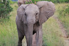 Elephant_Mara_North_Asilia_Kenya0008