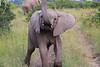 Elephant_Mara_North_Asilia_Kenya0006