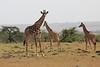 Giraffe_Mara_Reserve_Asilia_Kenya0015