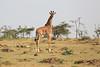 Giraffe_Mara_Reserve_Asilia_Kenya0017
