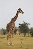 Giraffe_Mara_Reserve_Asilia_Kenya0010