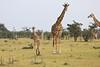 Giraffe_Mara_Reserve_Asilia_Kenya0003