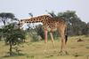 Giraffe_Mara_Reserve_Asilia_Kenya0009
