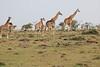 Giraffe_Mara_Reserve_Asilia_Kenya0016