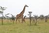 Giraffe_Mara_Reserve_Asilia_Kenya0012