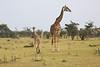 Giraffe_Mara_Reserve_Asilia_Kenya0002