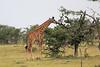 Giraffe_Mara_Reserve_Asilia_Kenya0006