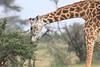 Giraffe_Mara_Reserve_Asilia_Kenya0018