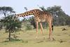 Giraffe_Mara_Reserve_Asilia_Kenya0008