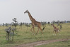 Giraffe_Mara_Reserve_Asilia_Kenya0013