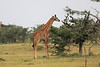 Giraffe_Mara_Reserve_Asilia_Kenya0005