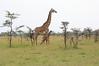 Giraffe_Mara_Reserve_Asilia_Kenya0011