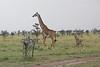 Giraffe_Mara_Reserve_Asilia_Kenya0014