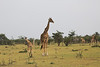 Giraffe_Mara_Reserve_Asilia_Kenya0001