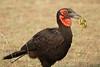 Ground_Hornbill_Mara_Asilia_Kenya0012