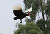 Ground_Hornbill_Mara_Asilia_Kenya0002
