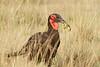 Ground_Hornbill_Mara_Asilia_Kenya0018