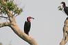 Ground_Hornbill_Mara_Asilia_Kenya0013