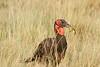 Ground_Hornbill_Mara_Asilia_Kenya0017