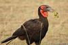 Ground_Hornbill_Mara_Asilia_Kenya0011
