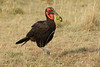 Ground_Hornbill_Mara_Asilia_Kenya0008