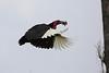 Ground_Hornbill_Mara_Asilia_Kenya0003