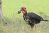 Ground_Hornbill_Mara_Asilia_Kenya0014