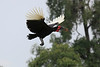 Ground_Hornbill_Mara_Asilia_Kenya0002