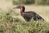Ground_Hornbill_Mara_Asilia_Kenya0016