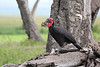 Ground_Hornbill_Mara_Asilia_Kenya0001