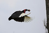 Ground_Hornbill_Mara_Asilia_Kenya0003