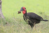 Ground_Hornbill_Mara_Asilia_Kenya0014