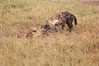 Spotted_Hyena_Mara_Asilia_Kenya0007