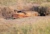Spotted_Hyena_Mara_Asilia_Kenya0019