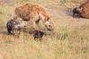Spotted_Hyena_Mara_Asilia_Kenya0018
