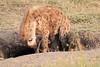Spotted_Hyena_Mara_Asilia_Kenya0012