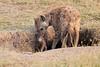 Spotted_Hyena_Mara_Asilia_Kenya0010