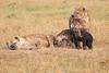 Spotted_Hyena_Mara_Asilia_Kenya0014