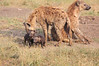 Spotted_Hyena_Mara_Asilia_Kenya0017