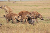 Spotted_Hyena_Mara_Asilia_Kenya0006