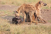 Spotted_Hyena_Mara_Asilia_Kenya0016