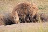 Spotted_Hyena_Mara_Asilia_Kenya0008