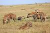 Spotted_Hyena_Mara_Asilia_Kenya0005