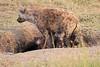 Spotted_Hyena_Mara_Asilia_Kenya0009