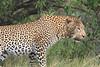 Leopard_Mara_Asilia_Kenya0013