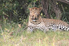 Leopard_Mara_Asilia_Kenya0010
