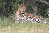 Leopard_Mara_Asilia_Kenya0009