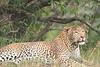 Leopard_Mara_Asilia_Kenya0014